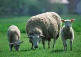 Биологи вывели эмбрионов овец с генами человека