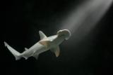 Нашел первую акула-вегетарианец