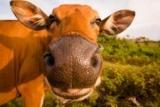 Среди коров нашли оптимистов и пессимистов