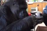 Умер Зарезервирован на языке жестов гориллы
