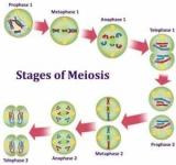 Що таке мейоз? Біологічне значення процесу