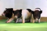 Найден безопасный способ создания свиночеловека